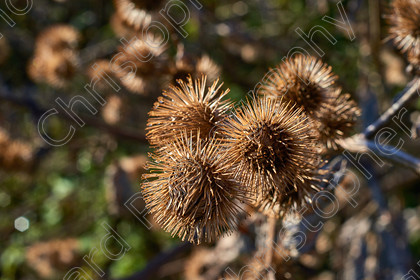 Burrs 002 